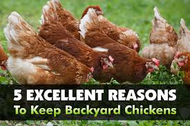 5 Excellent Reasons To Keep Backyard Chickens - The Grow Network ... Backyard Livestock Quotes Archives City Farming Salmonella Is No Yolk When Raising Chickens News 2153 Best Show Girls World Images On Pinterest Showing 371 Livestock Farm Animals The Goat Next Door Chicagos Backyard Laws Youtube Pig In Dirty Stock Photos Image 30192453 5 Excellent Reasons To Keep Chickens Grow Network 241 Critters Life Valpo Family May Lose Their After Complaint Free Images Grass Bird White Farm Lawn Rural Food Beak What Raise On Your Homestead Or Cdc Are Giving Wellmeaning Owners