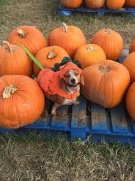 Pumpkin Patch College Station 2017 by Aggie Habitat For Humanity Home Facebook