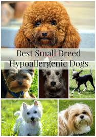 Best Dog Breeds That Dont Shed by Top Hypoallergenic Dogs The Most Suitable Breeds