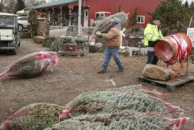 Pinecrest Christmas Tree Farm by Live Christmas Tree Farming Remains Steady Business In Will County