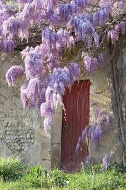 planting wisteria in a pot alan titchmarsh s tips on growing wisteria garden style