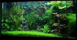 aquarium d eau douce les 25 meilleures idées de la catégorie aquarium d eau douce sur