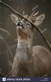 Whitetail Deer Shedding Velvet by Male Roe Deer Capreolus Capreolus Rubbing Its Antlers Against A