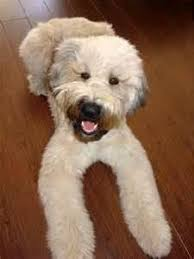 soft coated wheaten terrier wheaten terrier terrier and dog