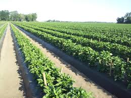 Wholesale Pumpkin Farms In Michigan by Peppers Polter U0027s Berry Farm