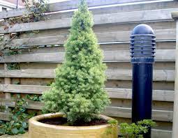 pot bonsai grande taille epicéa plantation culture et variétés
