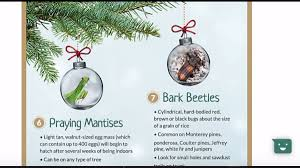 Christmas Tree Has Aphids by 25 000 Bugs Could Be Living On Your Fresh Christmas Tree What To