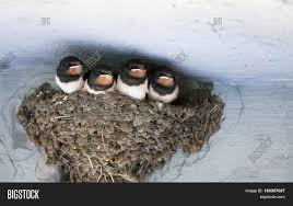 Birds Animals Wildlife. Swallow's Image & Photo   Bigstock Natures Engineers Bird Nests The Transient Biologist Travels With Birds Our Second Barn Swallow Hirondelle Rustique Nesting Structure Ask An Expert American Robin Nest Box Plans Those Guys Have Got To A Swallows And Social Cues Beco Swallow Flying Nest At Nosegawa Middle School In Swallows Being Procted King Weekly Sentinel How To Prevent From Building On Your Porch Youtube Earth Rangers Wild Wire Blog