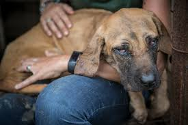 Black Mouth Cur Shed Hunting by Nearly 150 Dogs Were Just Saved From A Cruel Death On A Meat Farm