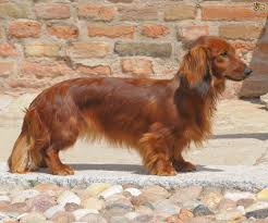 Red White Irish Setter Shedding by Dachshund Dog Breed Information Buying Advice Photos And Facts