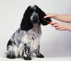 Do Brittany Spaniels Shed Hair by English Cocker Spaniel Dog Breed Information Pictures