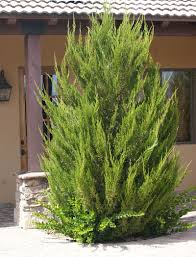 Christmas Tree Aphids by 10 Hard To Kill Evergreen Trees