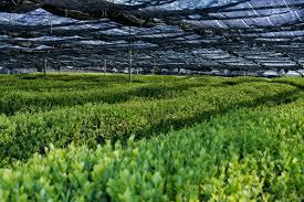 japanese green tea sei mee tea sei mee tea llc