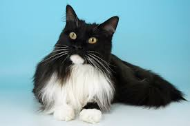 haired cats 6 cat breeds who to play with water