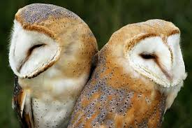 Baby Barn Owls Count | Behaving Animals Watch The Secret To Why Barn Owls Dont Lose Their Hearing 162 Best Owls Images On Pinterest Barn And Children Stock Photos Images Alamy Owl 10 Fascating Facts About Species List Az 210 Birds Drawing Photographs Of Cave By Tyler Yupangco 312 Beautiful Birds