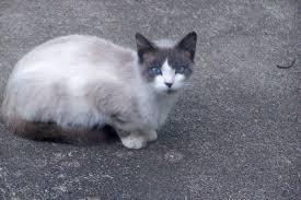snowshoe cat snowshoe cat breed williams