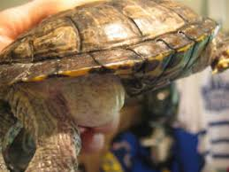 faqs about red ear slider res turtle disease health 2