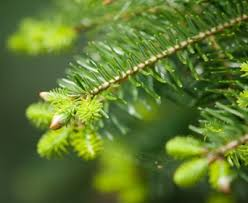 Balsam Christmas Tree Care by My Cut Christmas Tree Is Budding And Growing Can I Plant It