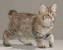 bobtail cat american bobtail cats