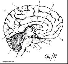 Brain Coloring Pic Human Book Download Pinky And The Pages Free Unbelievable Blank Diagram Worksheet Panda