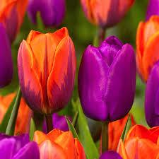tulip princess irene j bulbs