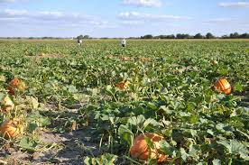 North Lawrence Pumpkin Patch by Schaake U0027s Pumpkin Patch Activities