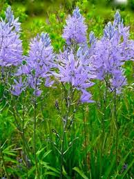17 best images about bollen camassia on the may