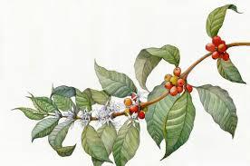 Coffee Plant Isolated Icon Vector Illustration Graphic Design