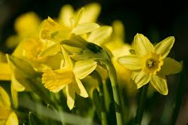tete a tete narcissus bulbs ashridge nurseries