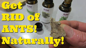 How to GET RID of ANTS in Your Kitchen Natural Remedy for Ants