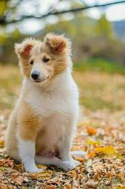 Sheltie Shedding Puppy Coat by 1354 Best Collies Shelties Images On Pinterest Rough Collie