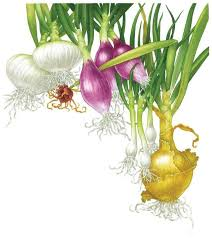 all about growing onions organic gardening earth news
