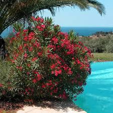 laurier fleurs rouges vente laurier fleurs rouges