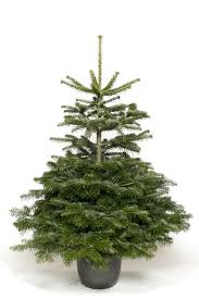 Nordmann Fir Christmas Trees Wholesale by Christmas Trees
