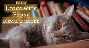 renal failure in cats the pet owner s guide to cat renal failure