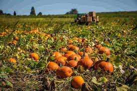 Keep Pumpkins From Rotting On Vine by Growing Pumpkins Grow And Care For Pumpkin Plants Farms Com