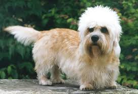 cairn terrier shed hair 100 best dandie dinmont terrier shedding dogs images on