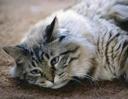 fleas on cats symptoms can cats become anemic from fleas pets