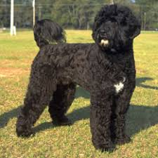 Do Hypoallergenic Dogs Shed As Puppies by Hypoallergenic Dogs American Kennel Club