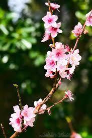 Image result for peach blossom Beautiful Blossom