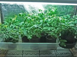 wasilla alaska garden adventures winter tomatoes in wasilla update