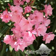 laurier fleurs doubles pot de 7 litres plus de 4