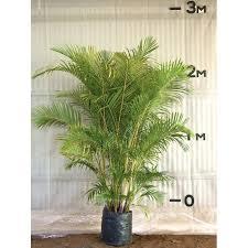 golden palm in pots a j flynn golden palm