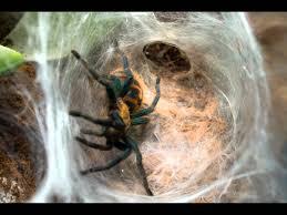 Do Tarantulas Shed Their Fangs by Greenbottle Blue Tarantula Molt Wmv Youtube