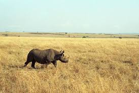 West African Black Rhino In Kenya