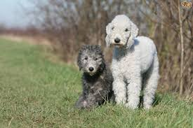 Stop Rat Terrier Shedding by Bedlington Terrier Dog Breed Information Buying Advice Photos