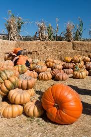 Pinery Bonita Pumpkin Patch by Pinery Pumpkin Patch Rancho Bernardo Hours Open