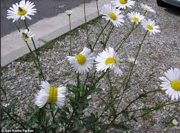 Known As Fasciation Or Cresting The Hormonal Imbalance In Vascular Plants Is A Rare