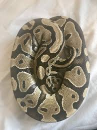 Ball Python Shedding Signs by Normal Male Ball Python For Sale Farnham Surrey Pets4homes