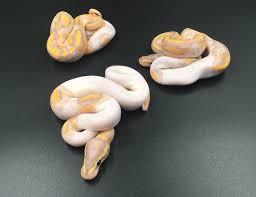 Ball Python Bedding by Ball Python Morphs Bearded Dragons Geckos Etc Care Sheets